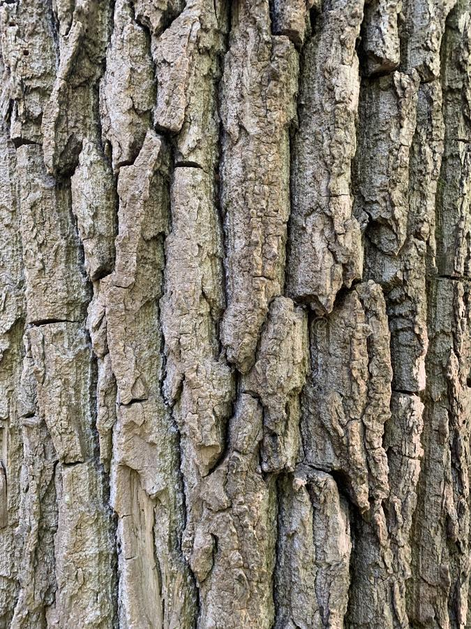 Poplar tree bark. Texture of black poplar tree bark, cottonwood Populus nigra royalty free stock photo