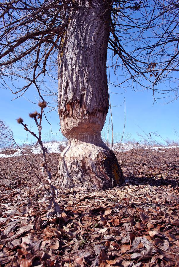 Poplar tree bitten by beavers, landscape with dry milk thistle growing through rotten leaves, white snow and bright blue sky royalty free stock photo