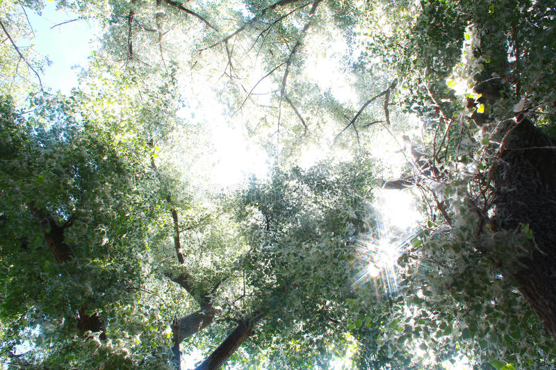 Download Poplar stock image. Image of blue, summer, twig, clear - 40887833