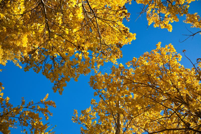 A poplar tree in fall with bright backlit yellow leaves stock photo