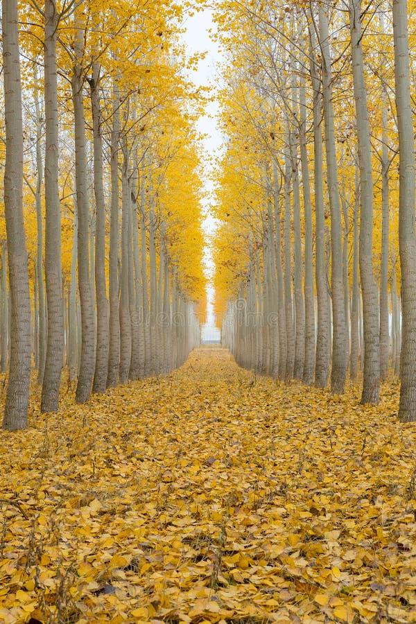 Poplar Tree Farm One Foggy Morning in Fall Season stock photos