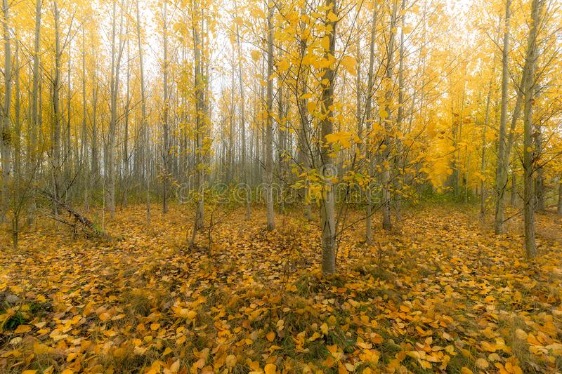 Poplar Tree Forest in Oregon during Fall Season. Poplar trees forest on a foggy morning during fall season in Oregon royalty free stock images