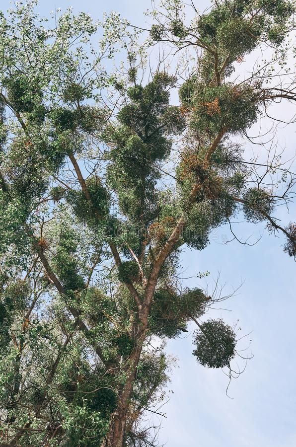Poplar tree Populus with extensive mistletoe Viscum album overgrowth. Week dying tree with very few leaves royalty free stock images