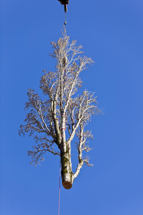 Poplar Tree Removal Stock Images