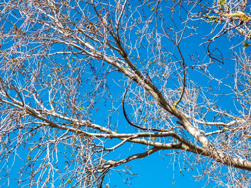 Poplar Tree With Young Buds royalty free stock image