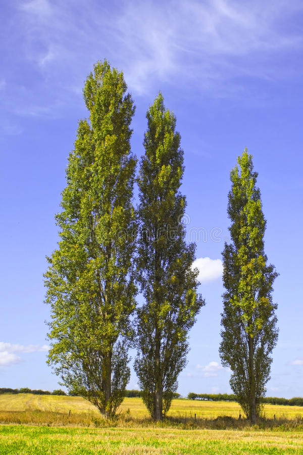 Poplar trees 2. Three poplar trees in the countryside in summer royalty free stock photography