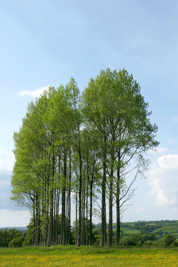 Poplar Trees. In a buttercup meadow in early summer, set against a blue sky and clouds stock image