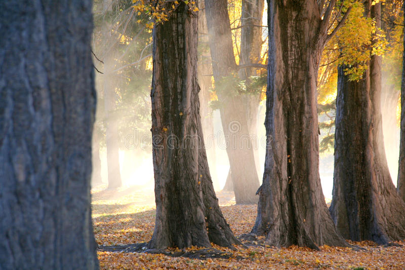 Poplar Trees in Autumn. At Lake Wanaka, New Zealand stock image