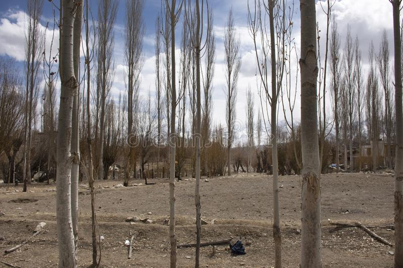 Poplar Trees forest and landscape of Leh Ladakh village at Himalayan valley while winter season in Jammu and Kashmir, India stock photography