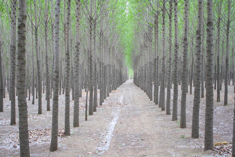 Download Poplar Trees Royalty Free Stock Image - Image: 33540646