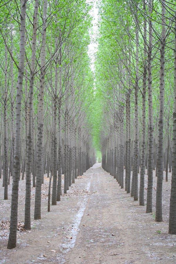 Download Poplar Trees stock image. Image of track, dirt, poplar - 33540703