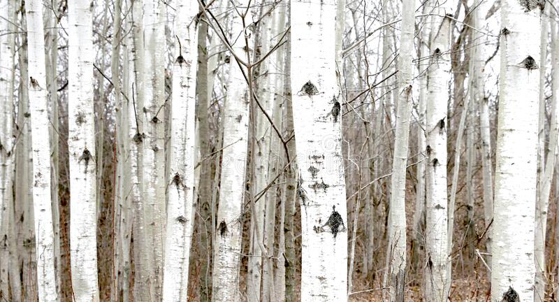 Poplar trees on hill in spring. Grouping of poplar trees with black and white bark  growing on a hill in spring in wisconsin royalty free stock photos