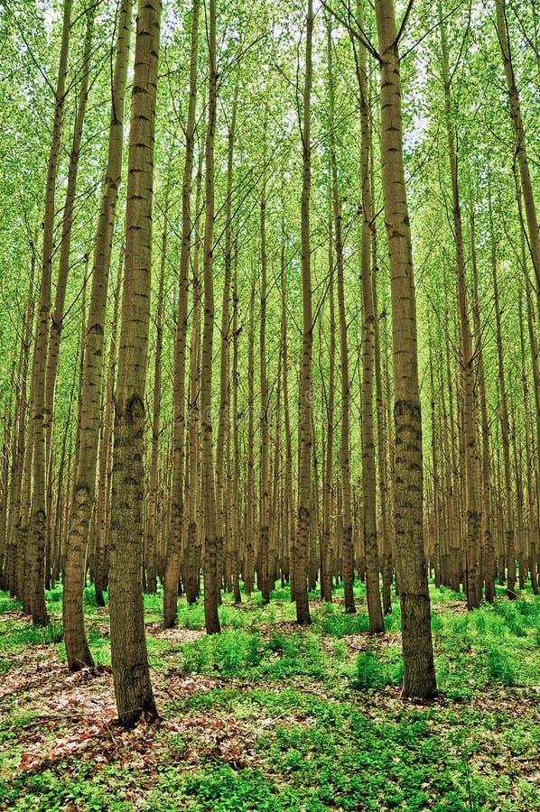 Poplar Trees near Boardman, Oregon stock photo