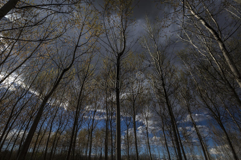 Poplar trees. A wood of poplar trees royalty free stock photos