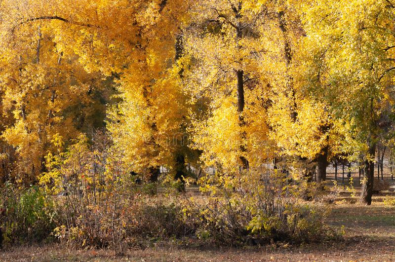 Poplar trees with yellow and orange leaves close to the River, in Autumn royalty free stock photo