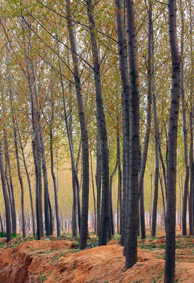 Poplar Woods Stock Images