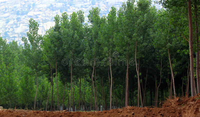 Download Poplar woods stock image. Image of woods, watercourse - 14627297