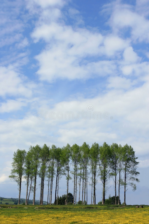Poplars in the Buttercup Meadow stock image