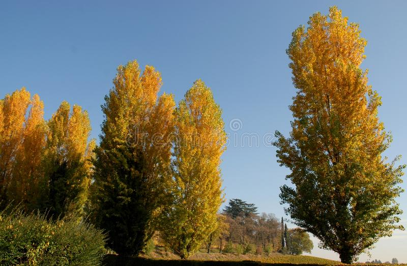 Poplars with colors in the countryside in the province of Padua in Veneto (Italy) royalty free stock photos