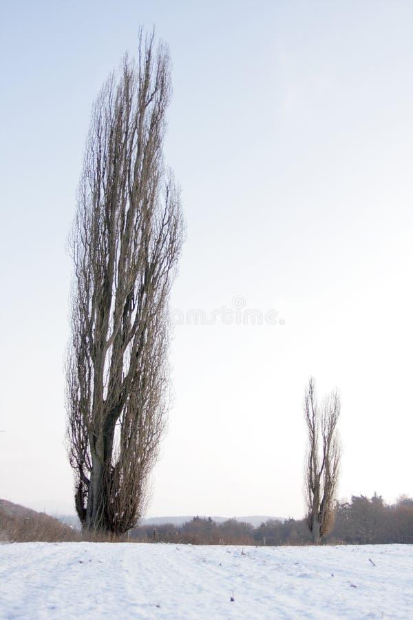 Poplars no inverno foto de stock royalty free