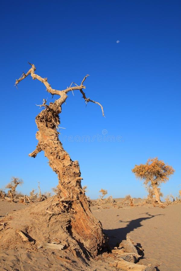 Poplars pretos fotografia de stock