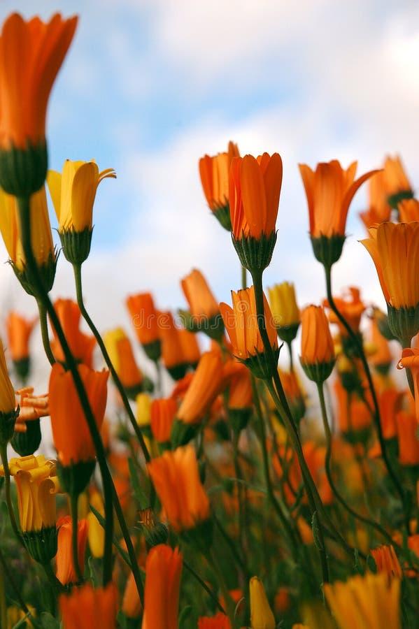 popołudniowe afrykańskich, daisy zdjęcia royalty free