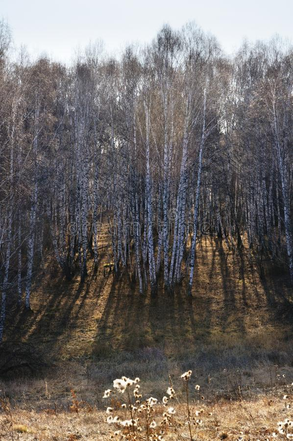 Popołudniowy słońce backlit jesieni brzozy drzewa nagi las obraz stock