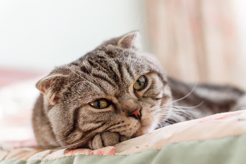 Popolare scozzese della razza a strisce grigia del gatto che si trova sul letto immagini stock