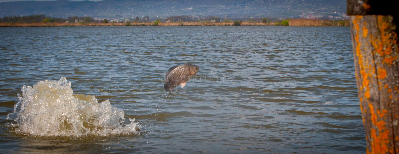Poppa fisken ut ur vattnet, fisk, karp arkivbilder