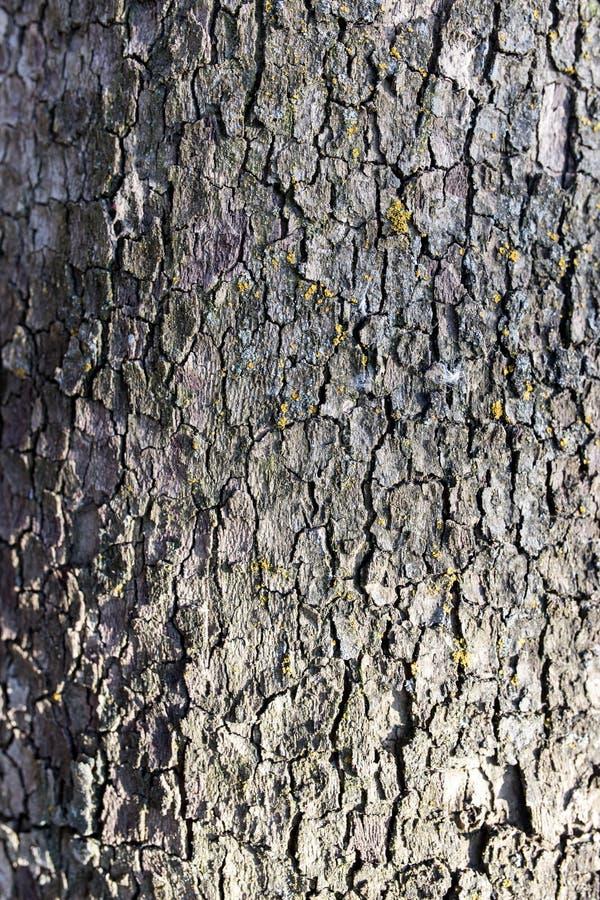Poppel för trädskäll på naturen royaltyfria bilder