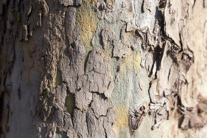 Poppel för trädskäll på naturen royaltyfria foton