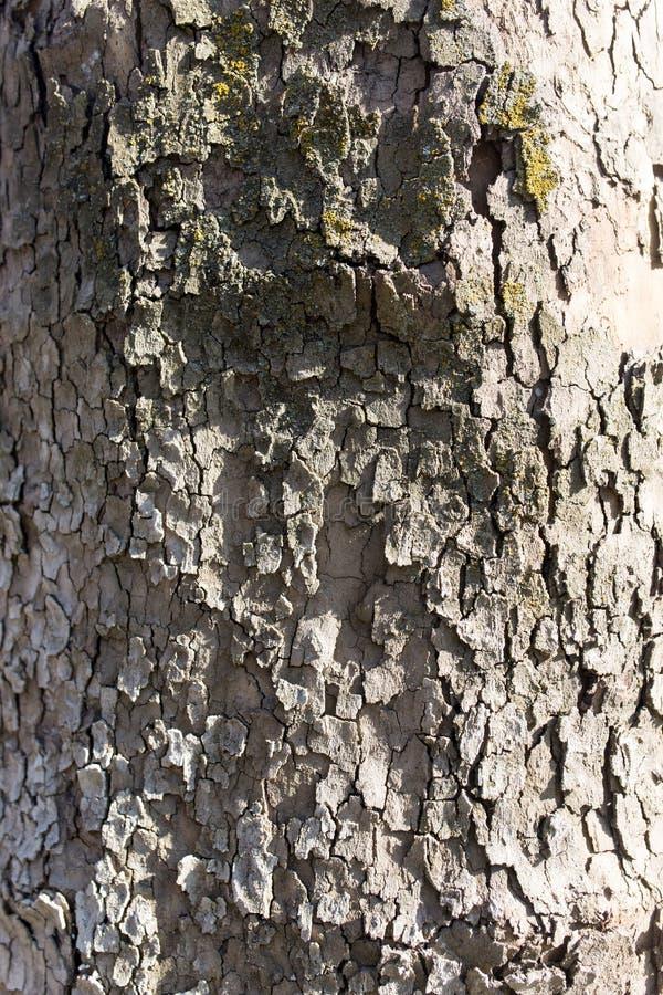 Poppel för trädskäll på naturen arkivfoto
