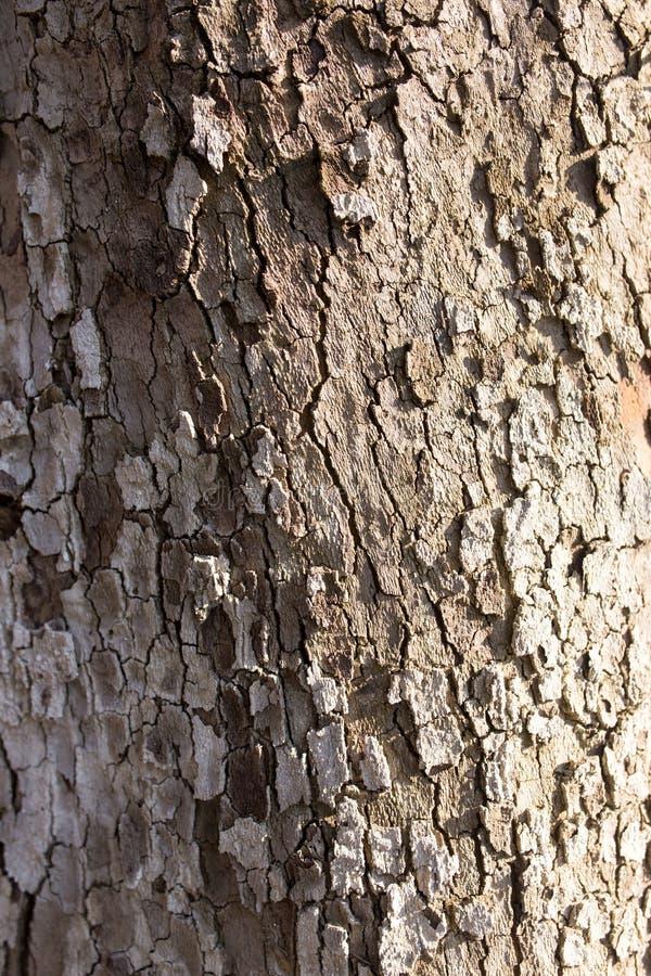 Poppel för trädskäll på naturen royaltyfri foto