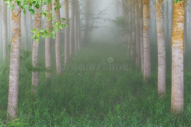 Poppeldunge i en dimmig morgon arkivbilder