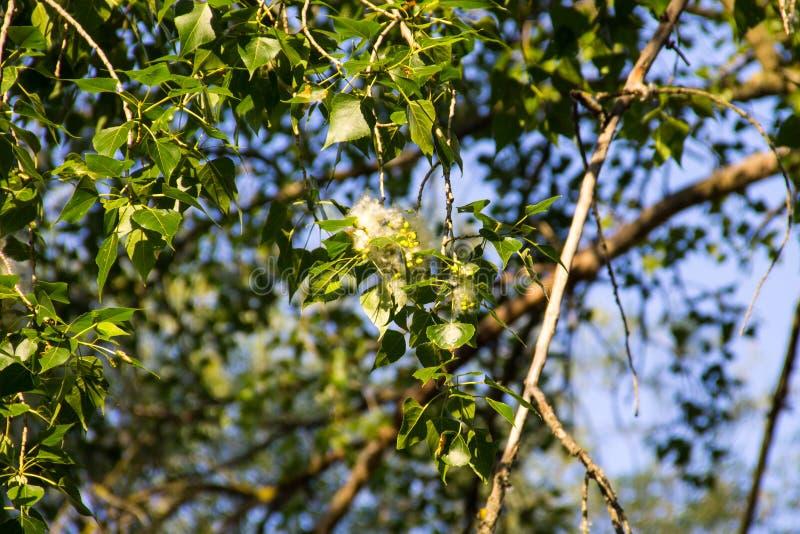 Poppelludd på filialcloseupen Poppelludd orsakar allergi royaltyfri foto