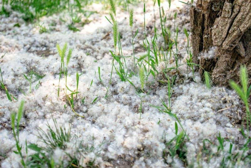 Poppelludd på filialen bland grönt gräs Vitt ludd från poppelträd, allergitecken arkivfoton