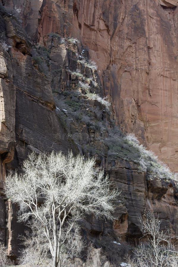 Poppelträd i vinter med ojämna Redrock klippor på Zion NP i Utah arkivfoto