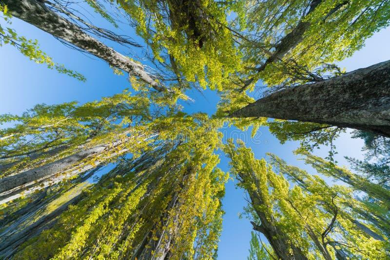 Poppelträd når för himmel arkivfoto