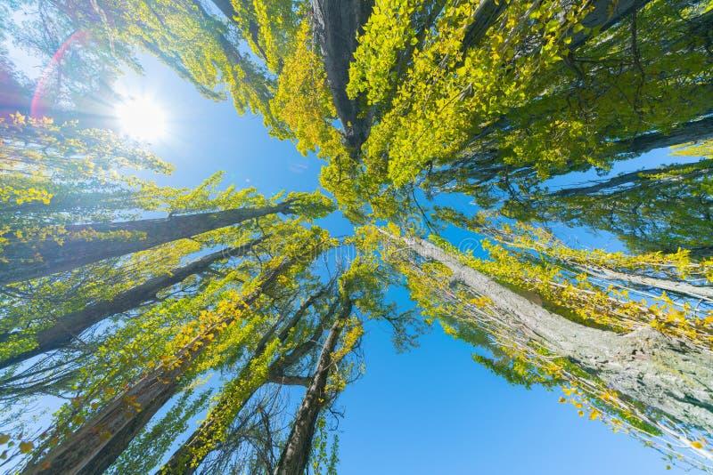 Poppelträd når för himmel royaltyfri foto