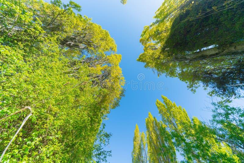 Poppelträd når för himmel royaltyfri fotografi
