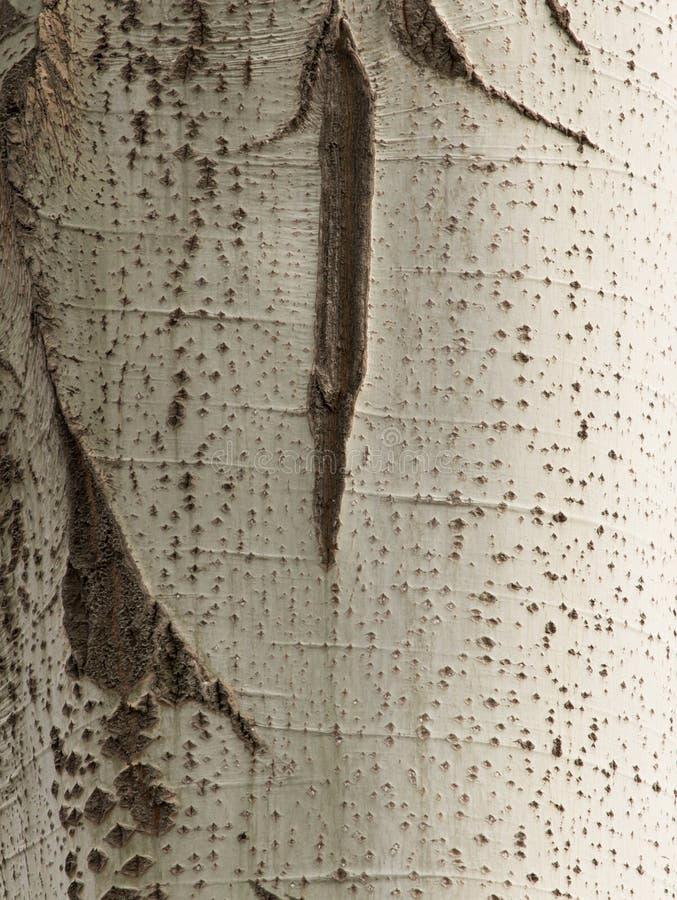 Poppelträdskäll som en bakgrund royaltyfri fotografi