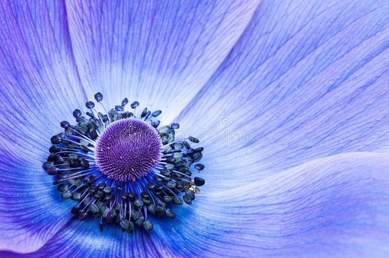 POPPIE BLEU photographie stock