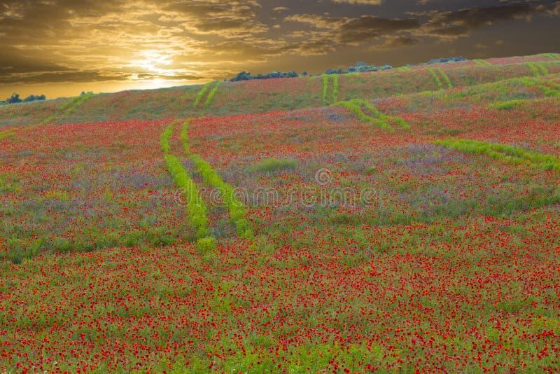Poppie bloemen, veld en gouden zonsondergang stock afbeeldingen