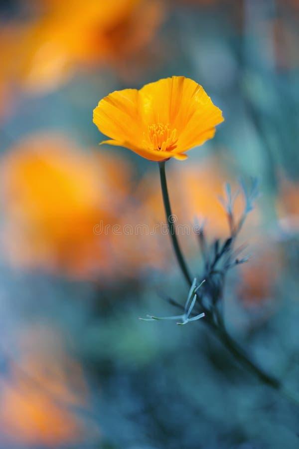 Poppie dorato della California in azzurro profondo fotografie stock libere da diritti