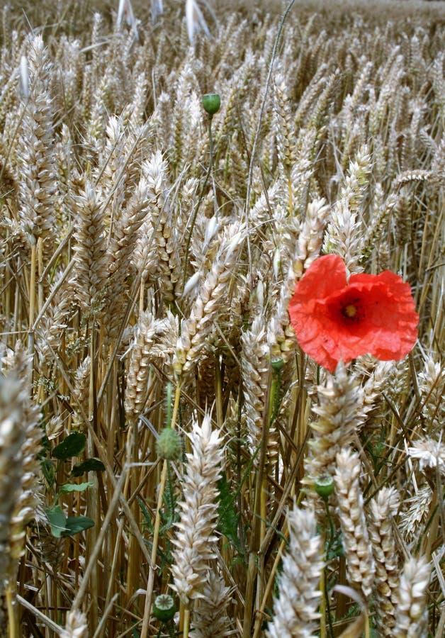 Poppie em um campo de trigo imagem de stock