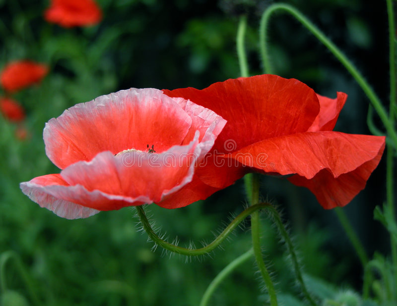 Download Poppies stock photo. Image of pink, plants, flower, outdoor - 8286