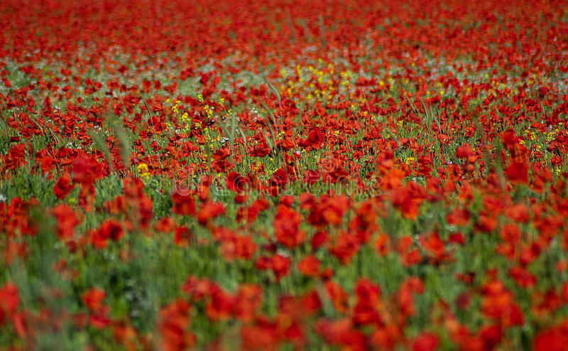 Poppies 1 royalty free stock image