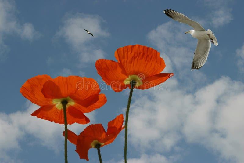 poppies fotografering för bildbyråer