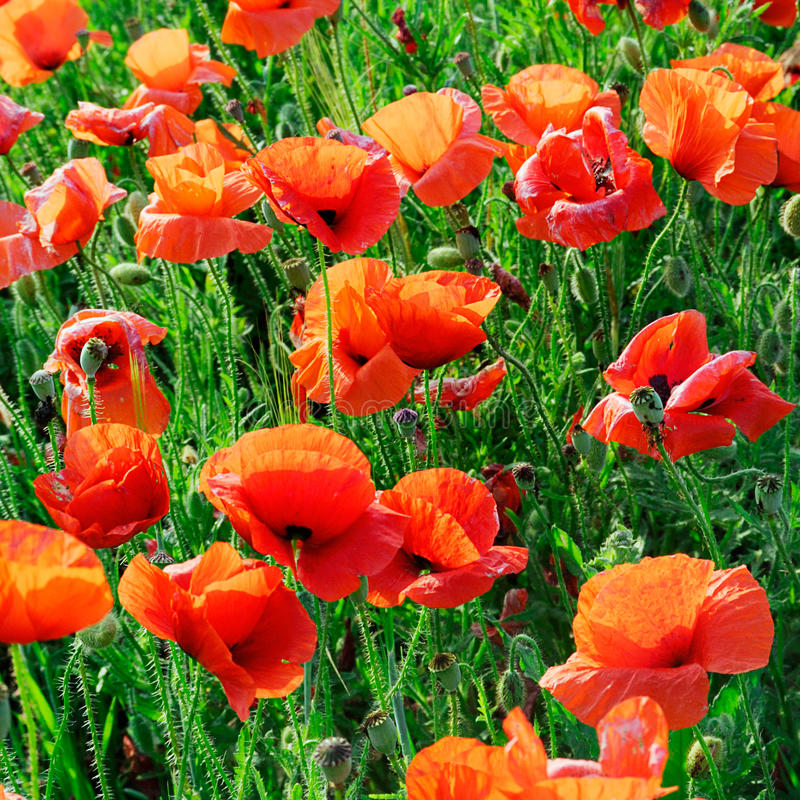 Download Poppies stock image. Image of field, flowers, herb, fields - 12357369