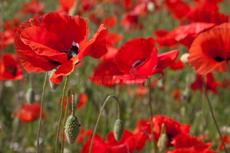 Download Poppies stock image. Image of stem, color, colored, beauty - 14181753